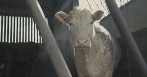 73 Cows